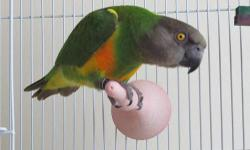 this is beautiful bird is fun to play with it is hand fed and its four years old .And also it comes with the blood ceritificate it its a female .and its health.if you are interested give me a call at 1-818-545-81-02