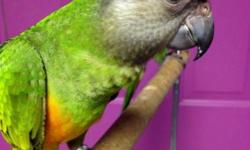 We have just 1 senegal parrot available. This baby is weaned and ready to go home now.We can ship for $125 and we can dna for $25. Any questions please contact me. Thank You!