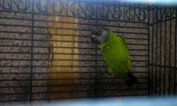 I have 2 Senegal Parrots for sale, i bought them as a prove pair but they have nothing done for me in one year. They are in perfect health, toes and feathers. They are 4 and 6 years old. 300 each.