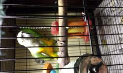 Senegal pair proven for previous 10 years old. Nice big male female plucked a little behind head area. Dna on both. $500