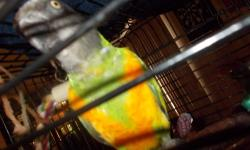 He is very pretty,tame went he wants to be,need a lot of time,want you to play wit him,he does talk alitle,they are not noise birds,he comes with his cage and a little play gound,for top of cage,please call me 727-348-8964