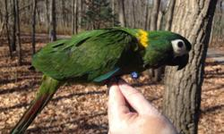 Severe macaw and Yellow collared macaw babies available. Taking a $300 deposit on this baby now. Northeast PA. We can ship & we can DNA. Any questions please feel free to contact me. Thank You! https://www.facebook.com/PoconoAna