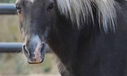 Shetland Pony - Sira - Medium - Adult - Female - Horse Sira is a lovely, dappled chestnut mare who is about as cute as can be! In the winter, she transforms into a fuzzy little bear, but in the summer she sheds out into a sleek, very pretty pony, indeed!