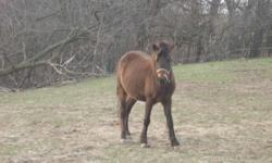 Shetland Pony - Tango - Small - Young - Female - Horse Name: TANGO Approximate Age: 2 Sex: Mares Breed: Assuming Shetland/Welsh/Morgan Cross Color: Black Rescued From: Surrendered over by owner during seizure with Humane Society More Info: Emaciated at