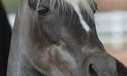 Shetland Pony - Toffee - Medium - Senior - Male - Horse Toffee is a handsome little Shetland pony who was born in 1993. He lived a great life in Northern Utah until his people developed health problems. It was then that he came to live at Best Friends