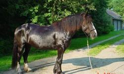 Beautiful mare cross, she is 10yr old, I have ridend her bareback, with her halter, English, western. she definitely direct reins. she is sweet, great for hooves picking, trimming, , loading great. she loves kids and will stand for any kind of loving you
