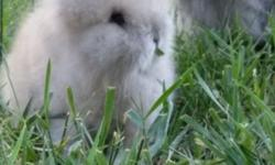 I often have mini rex & lionhead babies and adults available to new homes. I have fantastic, sound foundation stock that are shown and have many impressive awards & wins on them. If you are in the market to show or breed, or even looking for a pet please