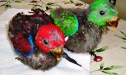 Fem. SI Eclectus Baby $750.. will let go at 4 weeks old to experienced hand feeder, , hatched on 5/25/2014 we are in Polk City Fl. www.bulliesnbirds.com Ph: 863 804 1037 thanks pic, are of previous baby's from the same parents