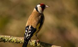 siberian goldfinch coming soon please call or text me for more information