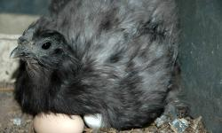 Year old silkie roosters. PARENTS: Rooster is Pure bred white, Hen is pure bred black. Beautifully colored males.