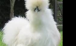 Beautiful Silkie chickens. Nice quality double bearded birds from the state of Washington. Babies and adults available. Have black, partridge, buff, lavender, porcelain, white and splash. 2 weeks to 1 year. $5-$45.