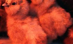 Bearded Bantam Silkie Chicks available year-round. White, Buff, Black, Blue, Splash, Partridge Not all colors may not be available at the same time depends on the hens. Amber Waves is a small family farm located in beautiful southern California