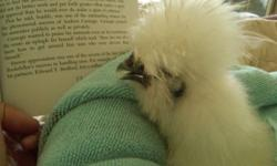 Chicks Chicks Chicks Bearded Bantam Silkie Chicks for sale. White, Buff, Black, Splash, Partridge and blue. Shipping OK. NPIP CA-308 Credit Cards Welcome. Private breeder open by appointment Prices $15.00 and up depending on age ? Visitors always welcome