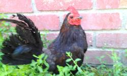 this rooster is very healthy and it is very beautiful. He is 9 months old. Look at picture below. Price is $30. Thanks 408-230-3951