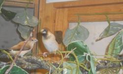 I have two chocolate society babies I am looking for homes for, both I believe are male, asking $10.00 each. Also one baby silverbill finch, he/she was born handicapped and can't properly fly, free to good home. And four silverbill/society finch hybrids.