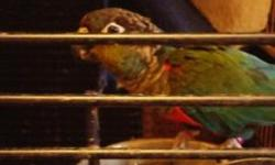I am rehoming most of my birds as we are moving unexpectedly. I have a set of maximillan pionus with large cage on wheels. a crimson bellied female conure 500 a a female senegal slightly plucked 350.00 age 4 Please text or reply to get pictures. will try