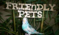 I have 2 one year old Slately Head Parakeets for sale. They are unsexed as of now. Both are in excellent shape. I do not have any pics as of yet , but you are welcome to come and take a look. I do ship and accept paypal. Contact Kevin for more info.