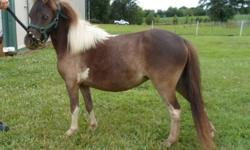 Small registered miniature pinto filly AMHR registered. Turned 2 years old in May.Wormed, feet trimmed, coggins test done, and had her teeth floated. Ready to go to a loving home approx. 29 inches tall .Leads well $750 firm. Call 270-554-5748 Paducah Ky.
