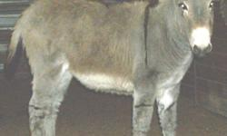 Standard Donkey Will be a small standard Jack Foal (male) DOB: 6/28/2014 Gray with cross and stripe $450.00 Ready to go home now!
