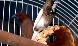 One male Society finch and one female Spice finch in need of good home! They are very low maintenance, just need daily food and water, lots of sunlight and covered with a light blanket at night. The male Society finch sings a low, sweet song- which