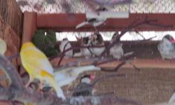Society finch $22.00 ea. or 3 $50.00 ,. have sume Canary's nice colors $55.00 ea. I build custom avery's any size Pat
