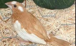 I have several young Society finches for sale. Pieds and all whites available. $8 each. (Pets Mart's price $21.99) If interested please call 916-606-0133. Please no calls after 8:00 PM