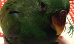 Solomon Island Eclectus female just weaned. She is a very sweet little girl! Solomon Island Eclectus boys are green and the girls are red. Eclectus are very good talkers, (close to the African Greys), they are known to be a family bird and very good with