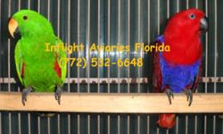 Solomon Island Eclectus Baby Hatched July 21st Photos, parents not for sale (reference only) **Hand-feeding experience required** Will ship via United Pet Safe, buyer responsible for all shipping costs Local pick-up OK $1400. Buy direct from breeder and
