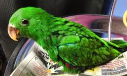 Beautiful Solomon island male eclectus is weaned and ready to go! Northeast PA. Contact me with any questions. https://www.facebook.com/PoconoAna