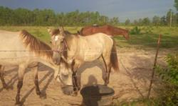 3 year old mini sorrel stud he is full of spirit, but sweet. Loves his treats.needs homes asap