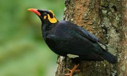 I have a pair of hill myna bird for sale bird.healthy birds eats pellets asking $1700 .call or text me(786)5877813