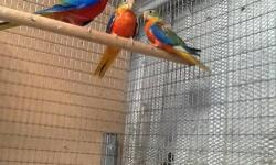 A pair of spangle bourke parakeets asking $1100.00 for the pair.Orr will consider grade for pair of redfront/ Red back turquoisines parakeets. Ask for Pete 714-399=5518