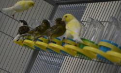 spanish timbrados (canaries) for sale, $50 male and female, also with cages.call Lopez @ (305)244-7136.