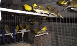 Show Quality Spanish Timbrado, Male and Female, green and variegated.