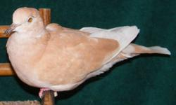 Sariel is available for adoption here at Ramsey Ringnecks in Hephzibah Ga. for $15. European Collared Dove cock Surrendered by Highland's Wildlife Rehab team. Sariel's left wing was neatly severed at the wrist, likely having been caught unaware by an