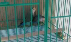 Split to lutino fisher lovebirds for sale $41-$45/each in Hemet Call 714-616-7207