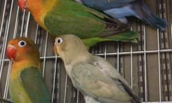 All of these lovebirds are split to sable. Some are from sable and yellow and some are from sable and blue. I know the green are male and female and are bonded. The greens are a little over 6 months, the blue is a male and is almost a year old and the