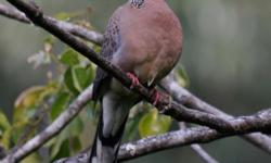 I am looking for a few pairs of Chinese spotted doves. Around the price of $50-$125. email me if you have some that you like to sell