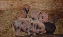 i have a few mini piglets for sale . some ready to go now some in a week or two. parents here to see. $350ea
