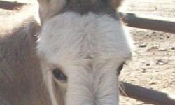 """Miniature Donkey Foal DOB: August 14, 2014 Jack (male) Birth Height: 16 1/2"""" 50/50 shades of gray & white spotted w/ cross & stripe $450.00 $100.00 deposit to secure"""