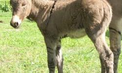 Standard Donkey Jack Foal Born: July 2, 2013 Mother has huge ears . . . so does the foal! Gray with Cross & Stripe Zebra Stripped Legs Should mature 12 - 13 Hands Weaning in 12 - 14 weeks Selling Price: $375.00 Deposit: $100.00 Balance: Due In Cash @