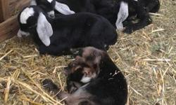 I am selling a starter herd of Nubian goats. Herd will include 1 Buck, and 3 Doelings. I have several year old Bucks to choose from. I have about 6 Doelings to choose from. The pictures I am putting up are of some of my babies recently born. Not all of