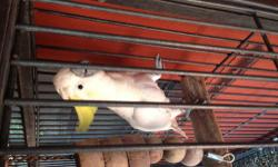 Sulfur crested cockatoo, family pet. Never taken out of cage as owners are now older...likes its nape scratched and comes over to you to be petted. Not sure on sex. Cage for $250