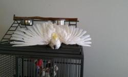 Alex is a wonderful Sulfur Crested Cockatoo. He is 5 years old. Alex loves scritches and attention. We payed to rescue Alex from a bad situation. We are only asking what we payed. We will be very careful about who takes Alex. With training and love Alex