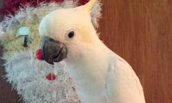 https://www.facebook.com/PoconoAna Sulphur crested cockatoo babies just weaned and ready for new homes. Northeast PA 18301. Contact me with any questions.