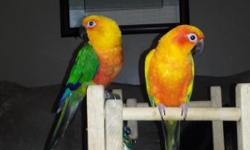 1 Sun conure 6 years old Male and 1 jenday conure 4 years old female. Fun and sweet birds in full feather. Bonded but very tame and cuddly. Very bright and pretty. Female recently laid couple eggs. They come with cage and toys. They are easy to care for.