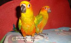 This sweet baby sun conure has loved to lay on its back since 2 weeks old! This baby is available and ready to go home. Contact me if interested. https://www.facebook.com/PoconoAna