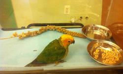 We only have one sun conure left, 6 weeks old. We are taking deposits now. Come in and visit us at AJ's Feathered Friends Pet Shop 847-695-5624 19 N State St Elgin, IL 60123 www.ajsfeatheredfriends.com Like us on Facebook! This ad was posted with the eBay