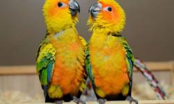2 beautiful, Sweet sun conures available. $350 a baby. Should be ready by Christmas. $50.00 deposit will hold one of these babies. Location Northeast PA 18058. https://www.facebook.com/PoconoAna