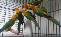 Sun Conures $150 each not dna and Sun Conures $200 each that are dna males and females birds are not tame for more info text or call 305-546-4676
